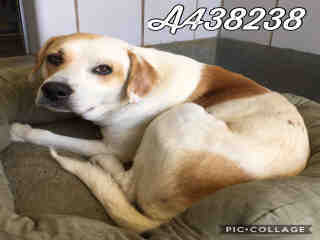 Mix-Bred LABRADOR RETRIEVER Male  Adult  Dog #A438238#  Animal Care Services (San Antonio) - click here to view larger pic