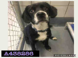 Mix-Bred TERRIER Male  Young  Puppy #A438286#  Animal Care Services (San Antonio) - click here to view larger pic