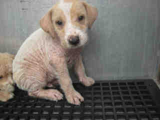 Mix-Bred LABRADOR RETRIEVER Male  Young  Puppy #A438305#  Animal Care Services (San Antonio) - click here to view larger pic