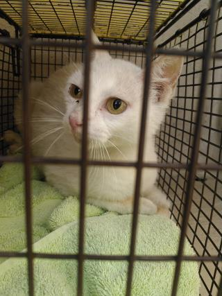 Mix-Bred DOMESTIC SHORTHAIR Female  Adult  Cat #A438356#  Animal Care Services (San Antonio) - click here to view larger pic