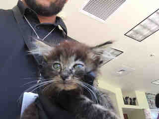 Mix-Bred DOMESTIC MEDIUMHAIR Female  Young  Kitten #A438430#  Animal Care Services (San Antonio) - click here to view larger pic