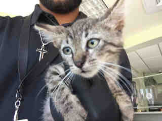 Mix-Bred DOMESTIC SHORTHAIR Male  Young  Kitten #A438435#  Animal Care Services (San Antonio) - click here to view larger pic