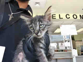 Mix-Bred DOMESTIC SHORTHAIR Male  Young  Kitten #A438436#  Animal Care Services (San Antonio) - click here to view larger pic