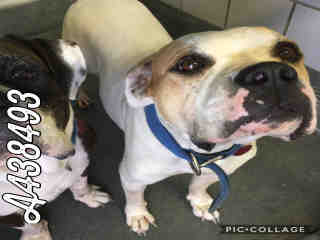 Mix-Bred AMERICAN BULLDOG Female  Adult  Dog #A438493#  Animal Care Services (San Antonio) - click here to view larger pic