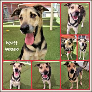 Mix-Bred GERMAN SHEPHERD DOG Male  Adult  Dog #A438510#  Animal Care Services (San Antonio) - click here to view larger pic