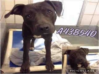 Mix-Bred AMERICAN STAFFORDSHIRE TERRIER Male  Young  Puppy #A438540#  Animal Care Services (San Antonio) - click here to view larger pic