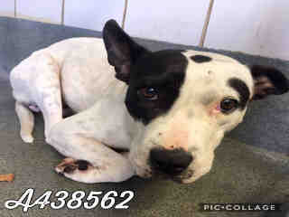 Mix-Bred STAFFORDSHIRE BULL TERRIER Female  Adult  Dog #A438562#  Animal Care Services (San Antonio) - click here to view larger pic