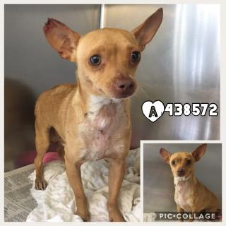 CHIHUAHUA - SMOOTH COATED Male  Adult  Dog #A438572#  Animal Care Services (San Antonio) - click here to view larger pic