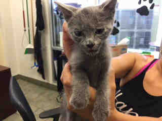 Mix-Bred DOMESTIC SHORTHAIR Female  Young  Kitten #A438581#  Animal Care Services (San Antonio) - click here to view larger pic