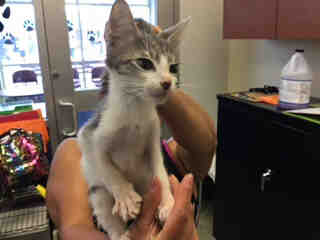 Mix-Bred DOMESTIC SHORTHAIR Male  Young  Kitten #A438582#  Animal Care Services (San Antonio) - click here to view larger pic