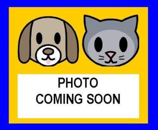 Mix-Bred DOMESTIC MEDIUMHAIR Male  Adult  Cat #A438647#  Animal Care Services (San Antonio) - click here to view larger pic