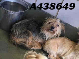 Mix-Bred YORKSHIRE TERRIER Male  Adult  Dog #A438649#  Animal Care Services (San Antonio) - click here to view larger pic