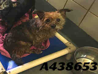 Mix-Bred TERRIER Male  Adult  Dog #A438653#  Animal Care Services (San Antonio) - click here to view larger pic