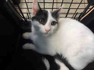 Mix-Bred DOMESTIC SHORTHAIR Male  Young  Kitten #A438659#  Animal Care Services (San Antonio) - click here to view larger pic