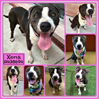 Mix-Bred AMERICAN STAFFORDSHIRE TERRIER Female  Young  Puppy #A438694#  Animal Care Services (San Antonio) - click here to view larger pic