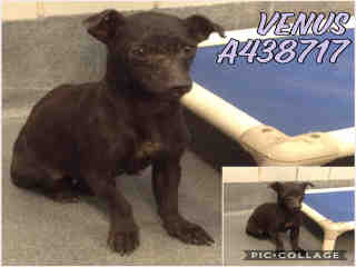 Mix-Bred CHIHUAHUA - SMOOTH COATED Female  Young  Puppy #A438717#  Animal Care Services (San Antonio) - click here to view larger pic
