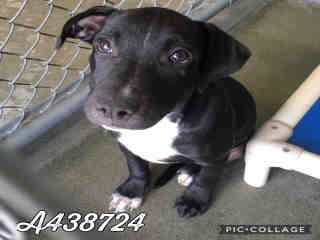 Mix-Bred LABRADOR RETRIEVER Male  Young  Puppy #A438724#  Animal Care Services (San Antonio) - click here to view larger pic