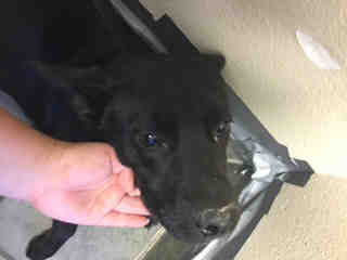 Mix-Bred SHEPHERD Female  Young  Puppy #A438742#  Animal Care Services (San Antonio) - click here to view larger pic