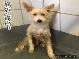 Mix-Bred TERRIER Male  Young  Puppy #A438783#  Animal Care Services (San Antonio) - click here to view larger pic