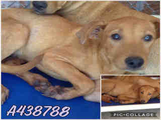 Mix-Bred SHEPHERD Female  Young  Puppy #A438788#  Animal Care Services (San Antonio) - click here to view larger pic