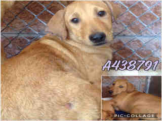 Mix-Bred SHEPHERD Male  Young  Puppy #A438791#  Animal Care Services (San Antonio) - click here to view larger pic