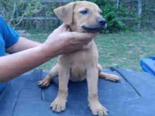 Mix-Bred LABRADOR RETRIEVER Female  Young  Puppy #A438810#  Animal Care Services (San Antonio) - click here to view larger pic