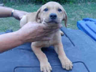 Mix-Bred LABRADOR RETRIEVER Female  Young  Puppy #A438811#  Animal Care Services (San Antonio) - click here to view larger pic