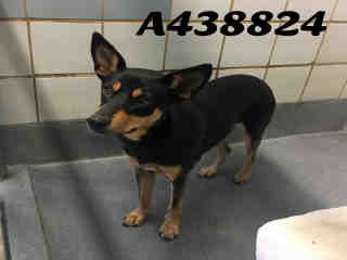 Mix-Bred SHEPHERD Female  Adult  Dog #A438824#  Animal Care Services (San Antonio) - click here to view larger pic