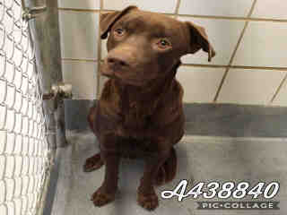 Mix-Bred LABRADOR RETRIEVER Male  Adult  Dog #A438840#  Animal Care Services (San Antonio) - click here to view larger pic