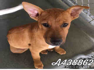Mix-Bred GERMAN SHEPHERD DOG Male  Young  Puppy #A438862#  Animal Care Services (San Antonio) - click here to view larger pic