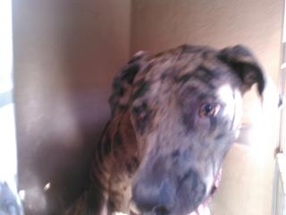 Mix-Bred GREAT DANE Male  Adult  Dog #A438868#  Animal Care Services (San Antonio) - click here to view larger pic