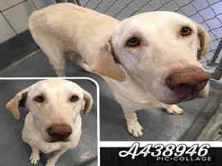 Mix-Bred LABRADOR RETRIEVER Female  Adult  Dog #A438946#  Animal Care Services (San Antonio) - click here to view larger pic