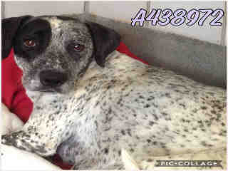 Mix-Bred AUSTRALIAN CATTLE DOG Female  Adult  Dog #A438972#  Animal Care Services (San Antonio) - click here to view larger pic