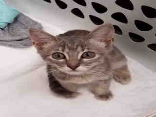 Mix-Bred DOMESTIC SHORTHAIR Female  Young  Kitten #A439024#  Animal Care Services (San Antonio) - click here to view larger pic