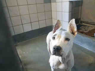 AMERICAN STAFFORDSHIRE TERRIER Female  Adult  Dog #A439057#  Animal Care Services (San Antonio) - click here to view larger pic