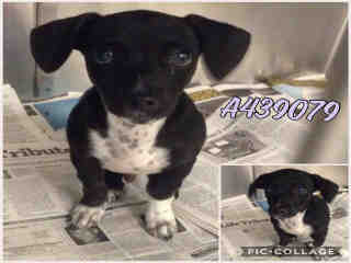 Mix-Bred LABRADOR RETRIEVER Male  Young  Puppy #A439079#  Animal Care Services (San Antonio) - click here to view larger pic