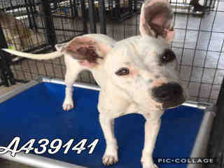 Mix-Bred AMERICAN STAFFORDSHIRE TERRIER Female  Young  Puppy #A439141#  Animal Care Services (San Antonio) - click here to view larger pic