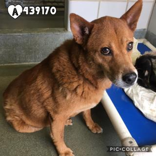 Mix-Bred CHOW CHOW Female  Adult  Dog #A439170#  Animal Care Services (San Antonio) - click here to view larger pic