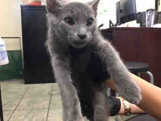 Mix-Bred DOMESTIC SHORTHAIR Male  Young  Kitten #A439216#  Animal Care Services (San Antonio) - click here to view larger pic