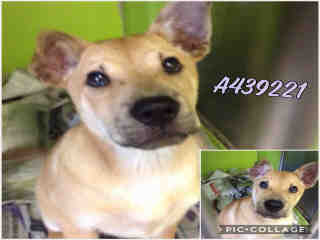 Mix-Bred SHEPHERD Female  Young  Puppy #A439221#  Animal Care Services (San Antonio) - click here to view larger pic