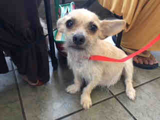 Mix-Bred CHIHUAHUA - SMOOTH COATED Female  Adult  Dog #A439223#  Animal Care Services (San Antonio) - click here to view larger pic