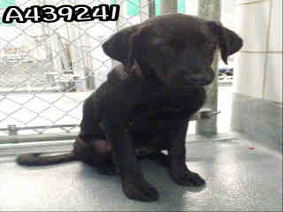 Mix-Bred LABRADOR RETRIEVER Male  Young  Puppy #A439241#  Animal Care Services (San Antonio) - click here to view larger pic