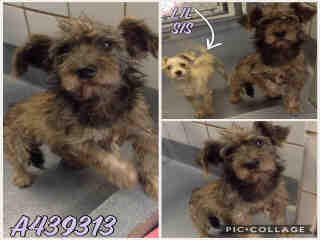 Mix-Bred SCHNAUZER - MINIATURE Male  Young  Puppy #A439313#  Animal Care Services (San Antonio) - click here to view larger pic