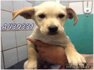 Mix-Bred SHEPHERD Female  Young  Puppy #A439331#  Animal Care Services (San Antonio) - click here to view larger pic