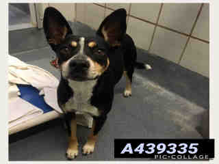 Mix-Bred AUSTRALIAN CATTLE DOG Female  Young  Puppy #A439335#  Animal Care Services (San Antonio) - click here to view larger pic