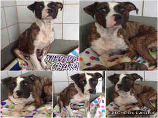 Mix-Bred AMERICAN STAFFORDSHIRE TERRIER Female  Adult  Dog #A439398#  Animal Care Services (San Antonio) - click here to view larger pic