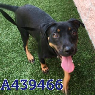 Mix-Bred LABRADOR RETRIEVER Female  Young  Puppy #A439466#  Animal Care Services (San Antonio) - click here to view larger pic