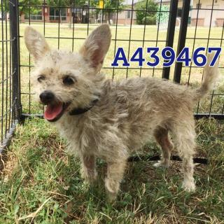 Mix-Bred AUSTRALIAN TERRIER Female  Adult  Dog #A439467#  Animal Care Services (San Antonio) - click here to view larger pic