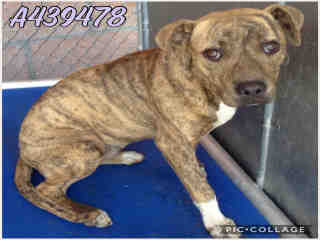 Mix-Bred AMERICAN STAFFORDSHIRE TERRIER Female  Young  Puppy #A439478#  Animal Care Services (San Antonio) - click here to view larger pic