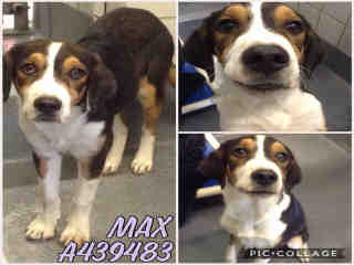 Mix-Bred BEAGLE Male  Young  Puppy #A439483#  Animal Care Services (San Antonio) - click here to view larger pic